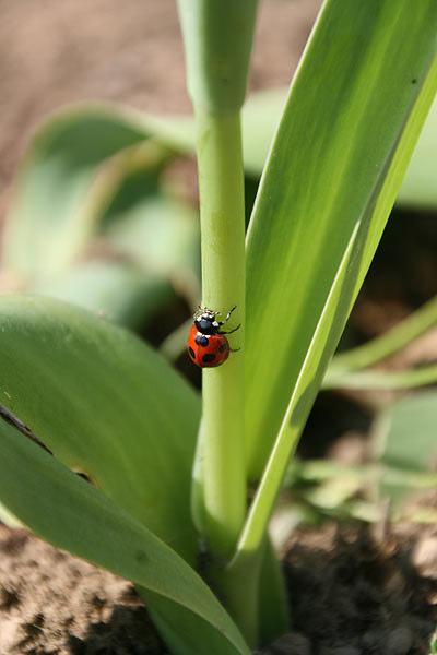 花壇のチューリップにてんとう虫が!