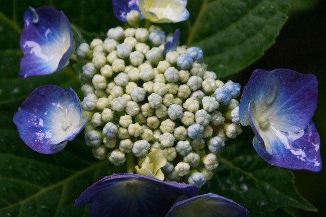 内側の小さい花がつぼみになっているやつ