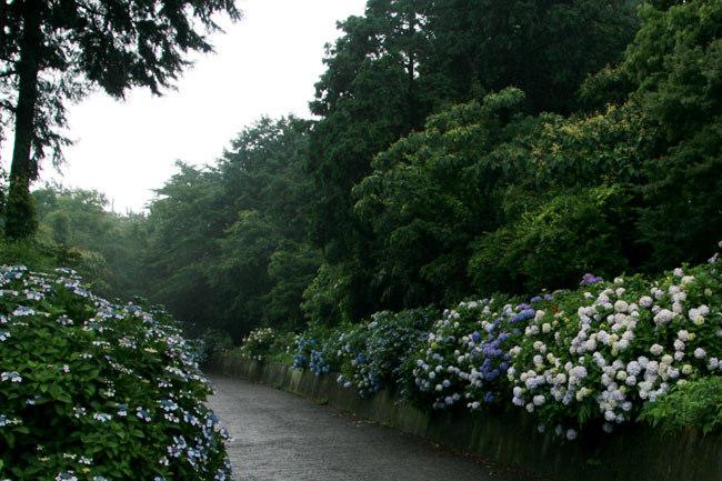 雨降りの天候がやっぱりアジサイに似合います。