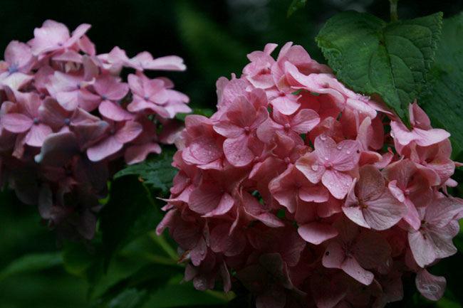粟井神社では少数派のピンクのアジサイ