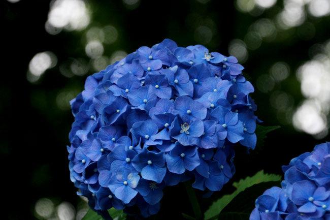 むっちゃ濃い青が美しいアジサイ