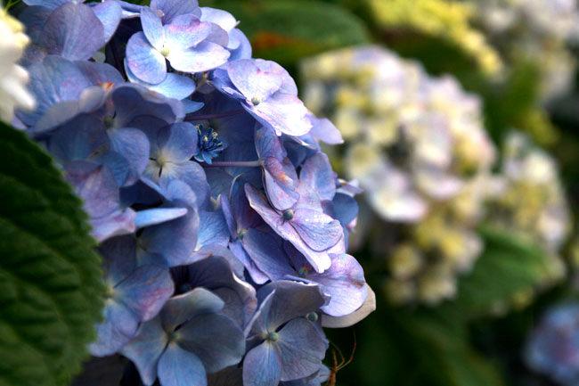 紫がかったアジサイの花