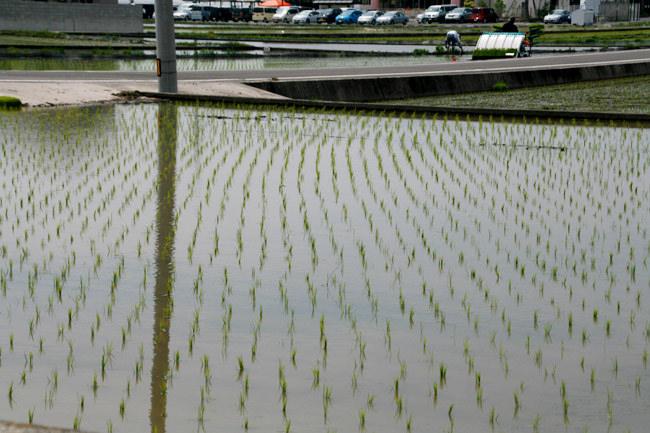 まさに水田に田植えしているとこ