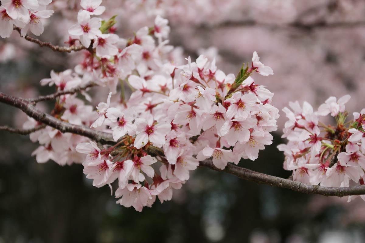 見事な桜でした