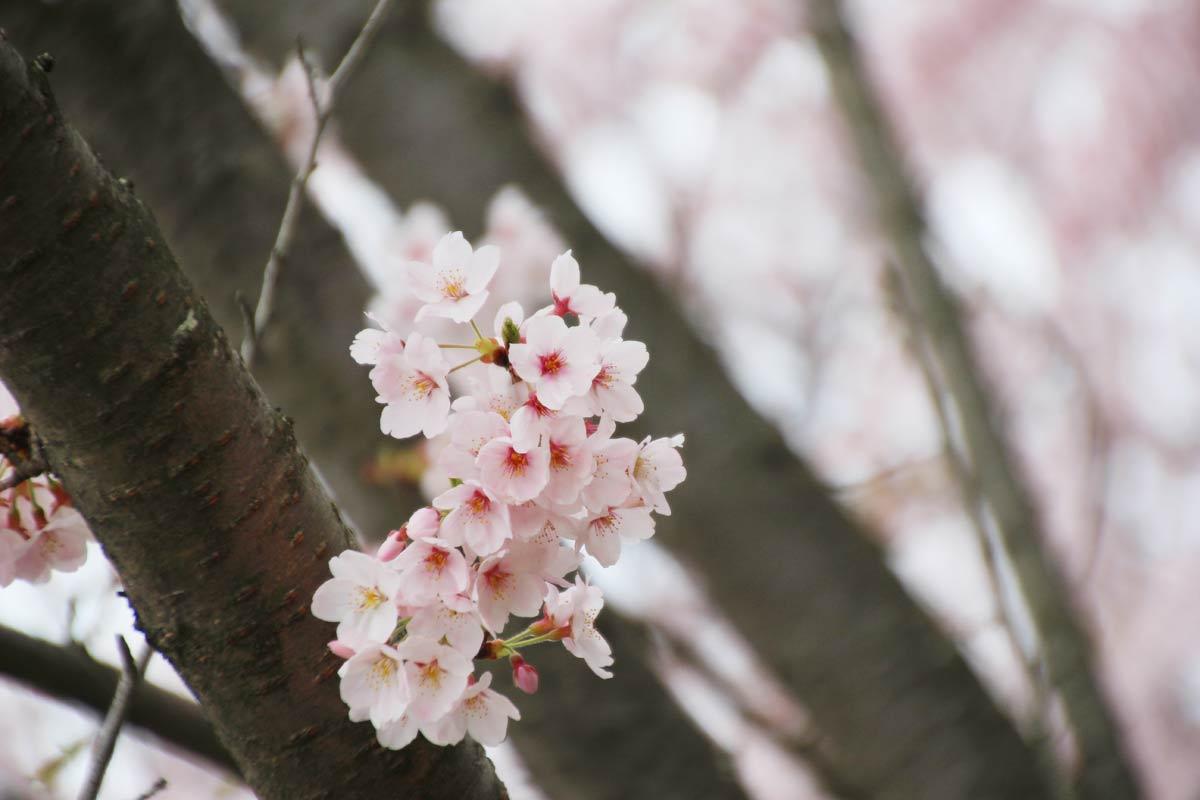 樹の幹から出ている桜の花
