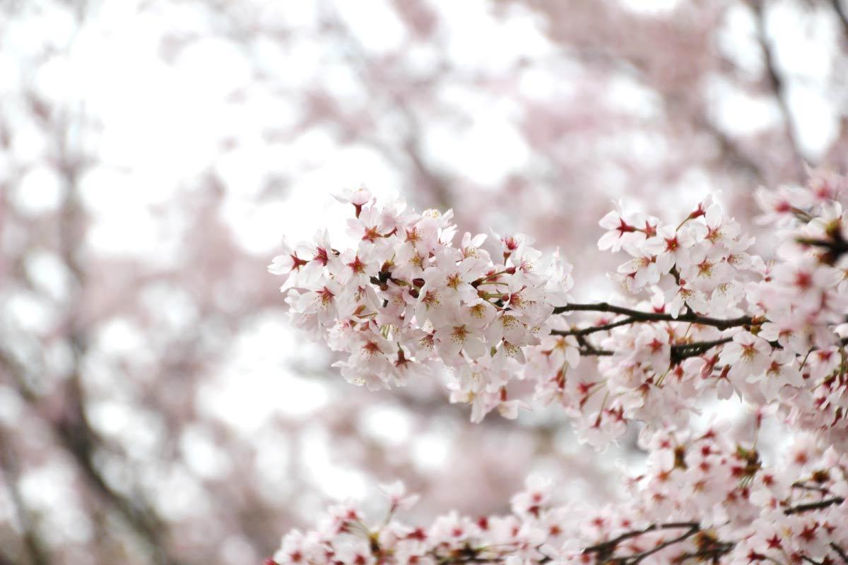 桜がこれでもかと咲いています
