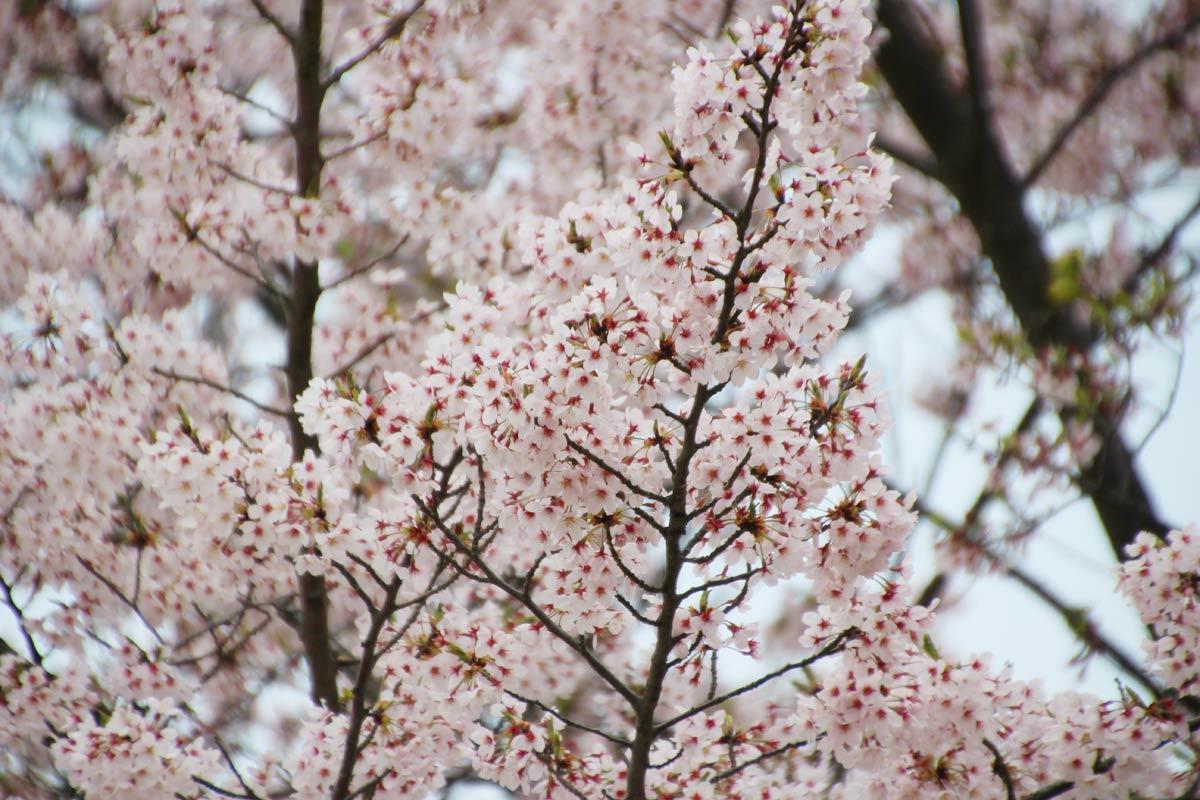 青ノ山の桜
