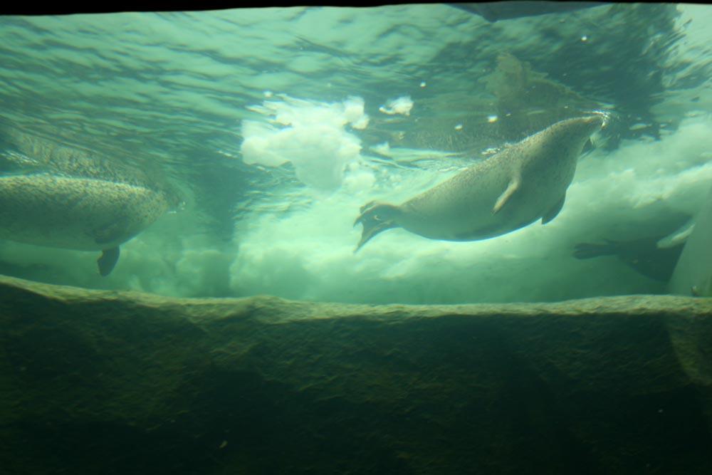 大きなアザラシたちが泳ぐ泳ぐ