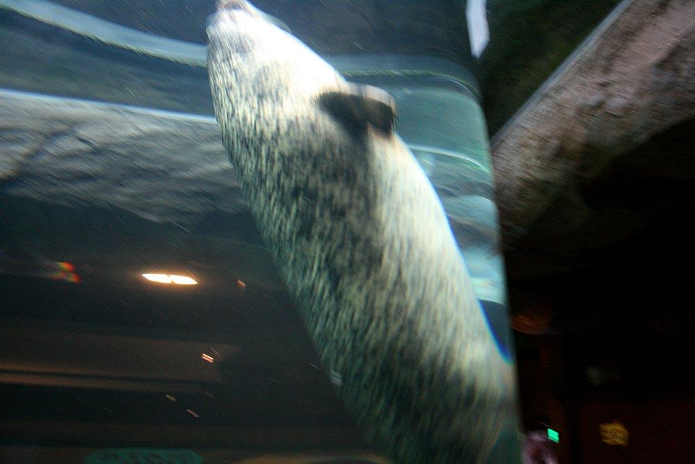 アザラシがチューブ状のトンネルを泳いで上の階へ
