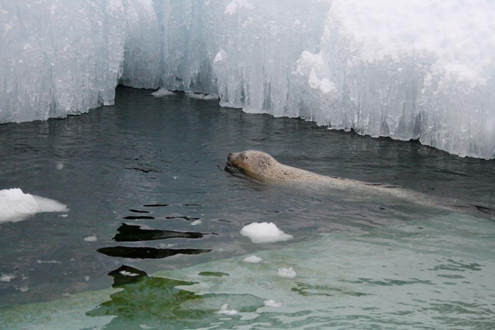 氷の浮いている水を泳ぐアザラシ