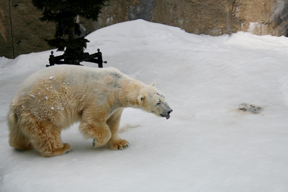 雪の中のホッキョクグマ