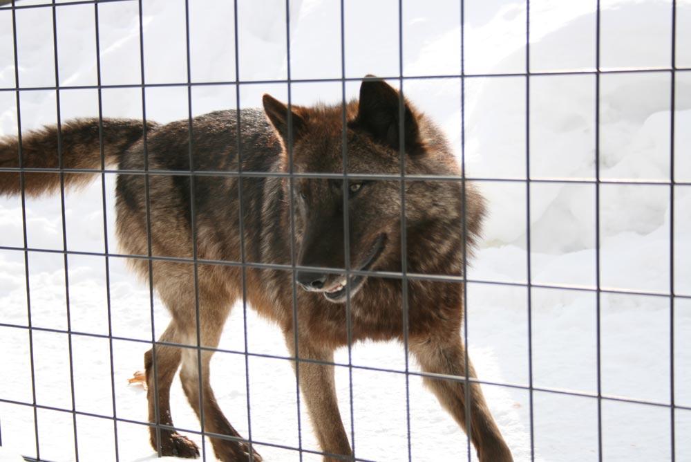 冬に撮ったオオカミの写真