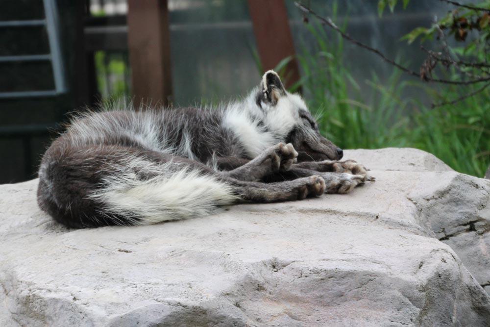 岩場の上でオオカミが寝てたよ
