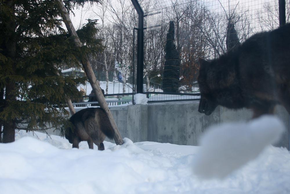 「ヘアーズアイ」というドーム型の観察場所からオオカミを見る