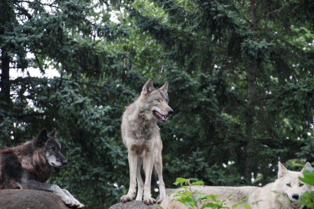 オオカミが起き上がると大きいですね
