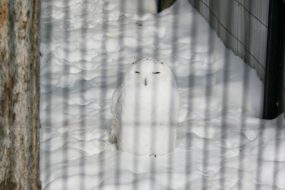 雪の中のシロフクロウ