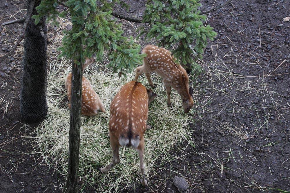 エゾシカの森では上からシカたちを見下ろせる