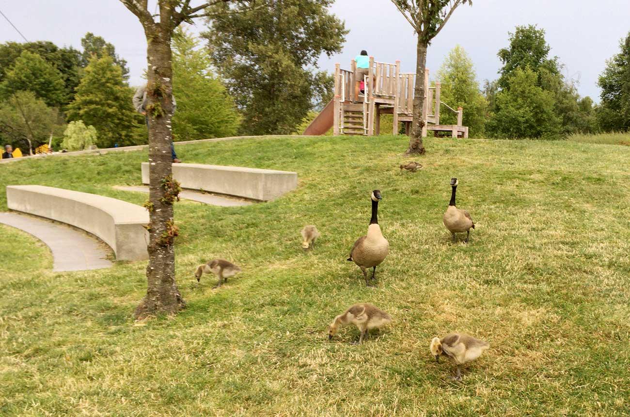 公園にふつうにいるカナダガンの親子