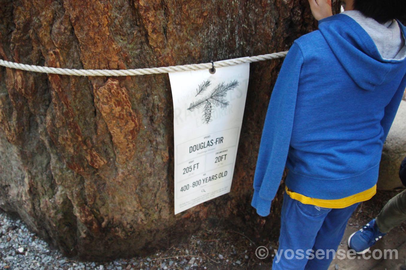 douglas fir(ベイマツ)
