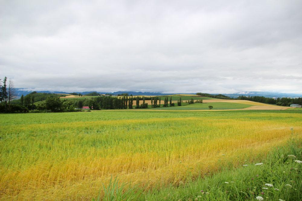 中富良野の小麦畑
