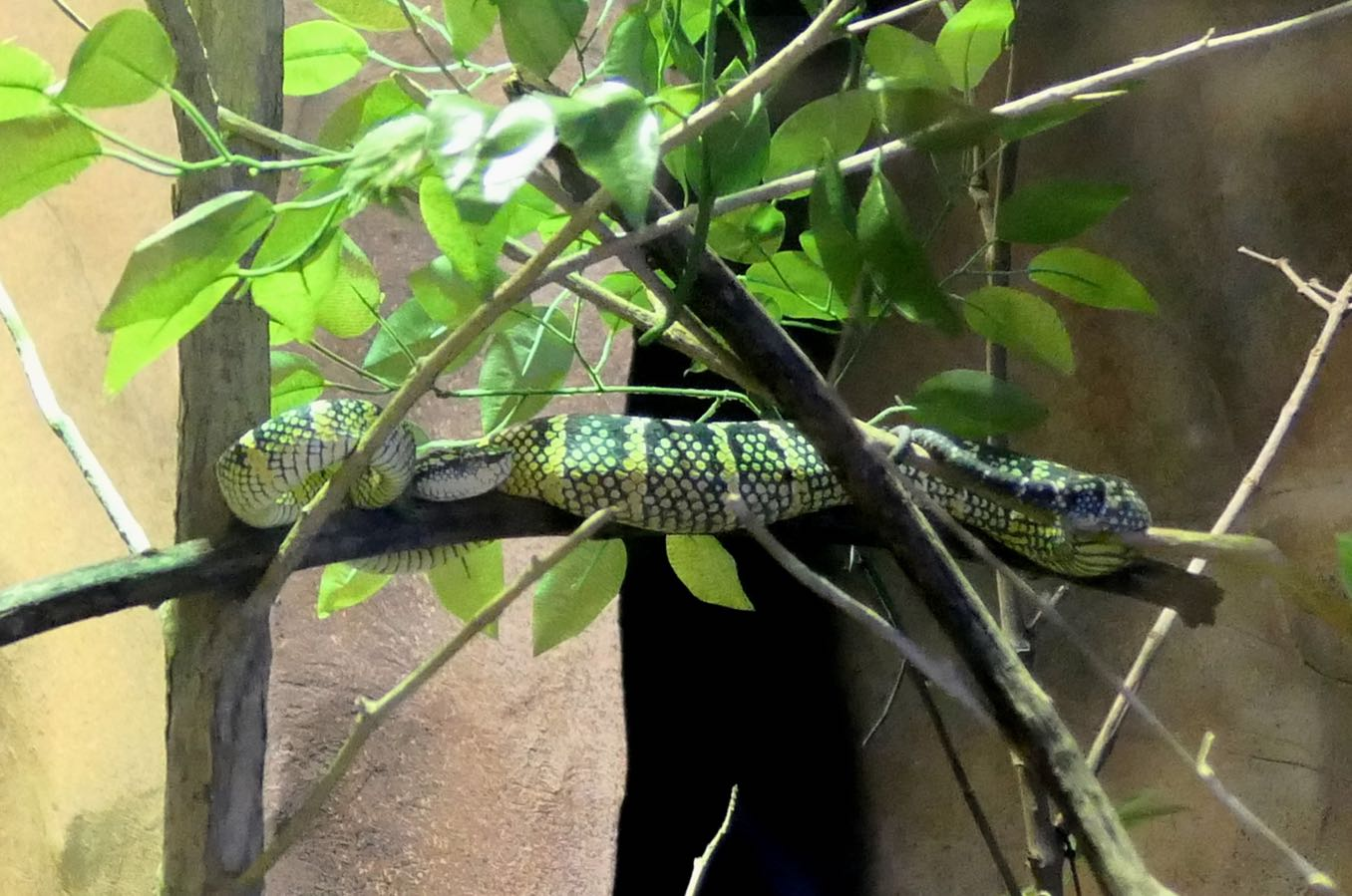 Wagler's Pit Viper(ヨロイハブ)
