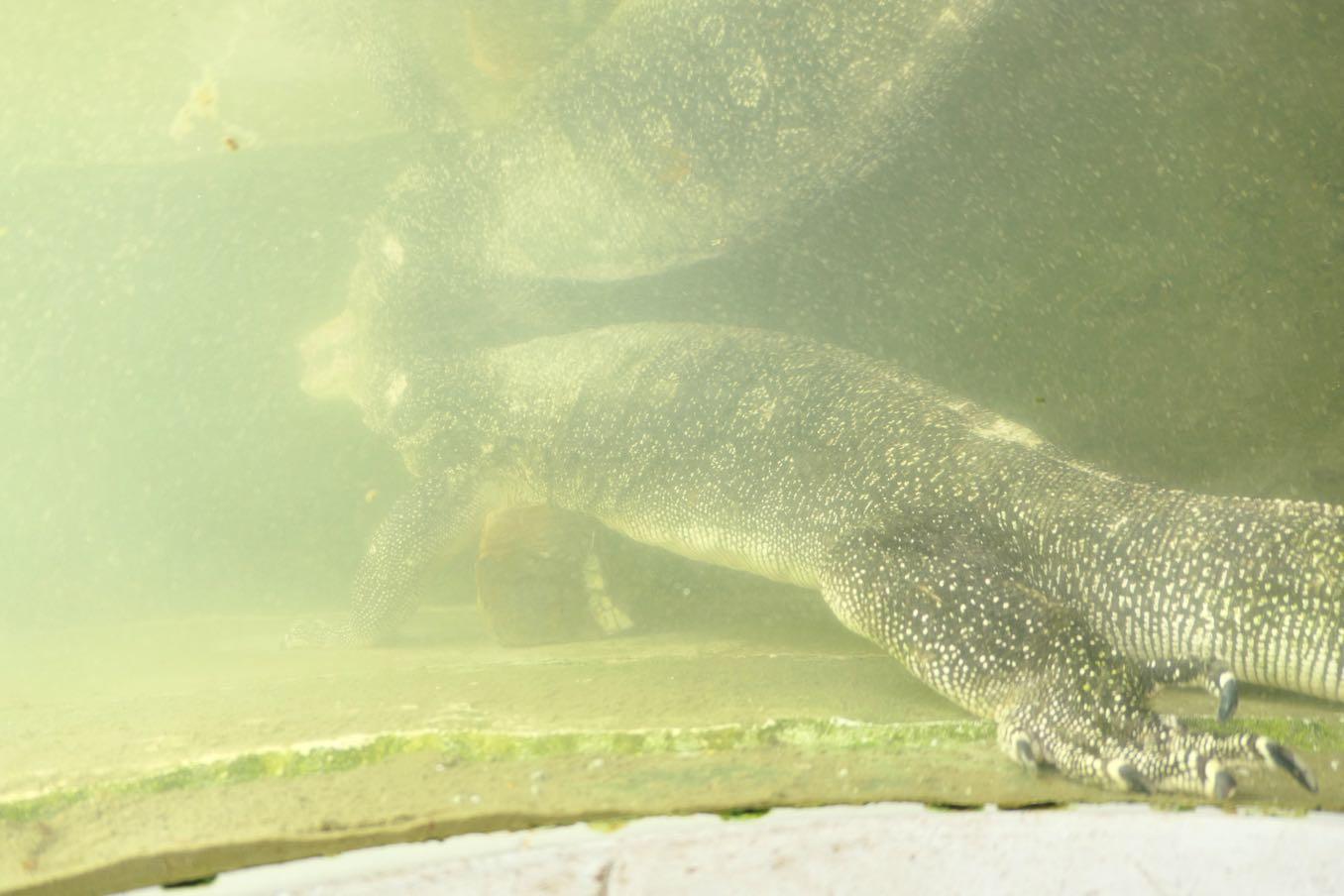 ミズオオトカゲを下から見る