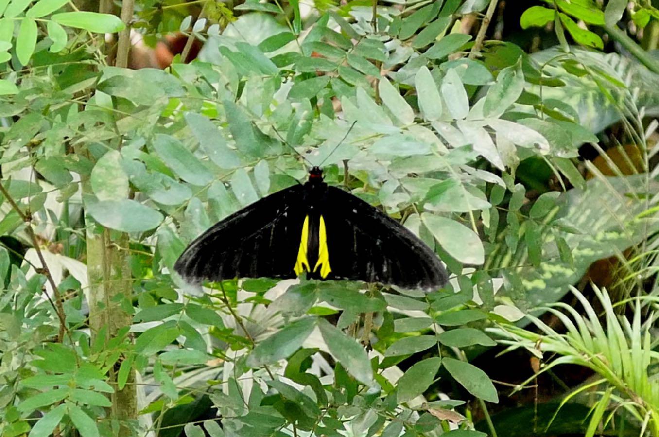 黄色のある黒いチョウ