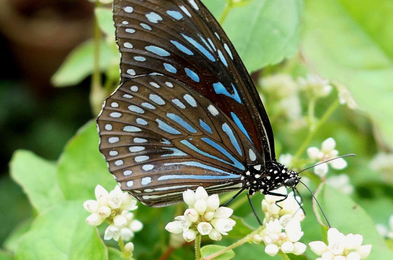 Blue Glassy Tiger(ウスイロアサギマダラ)