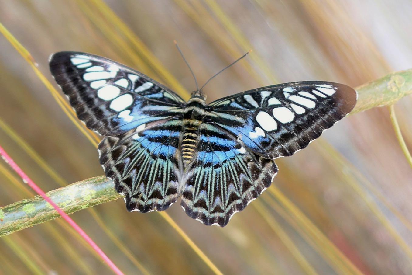青くてきれいなチョウも