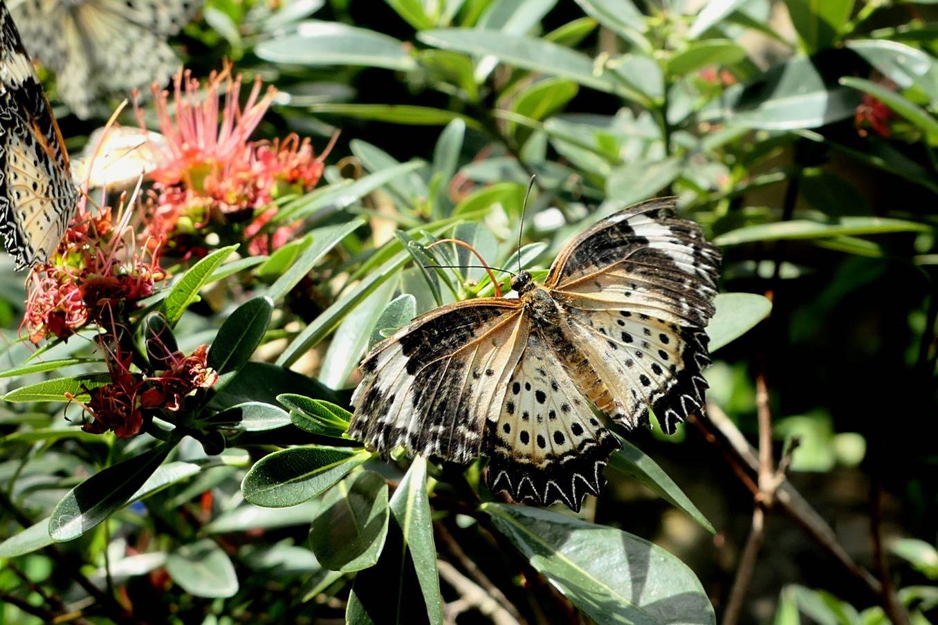 質素な色のタテハチョウ