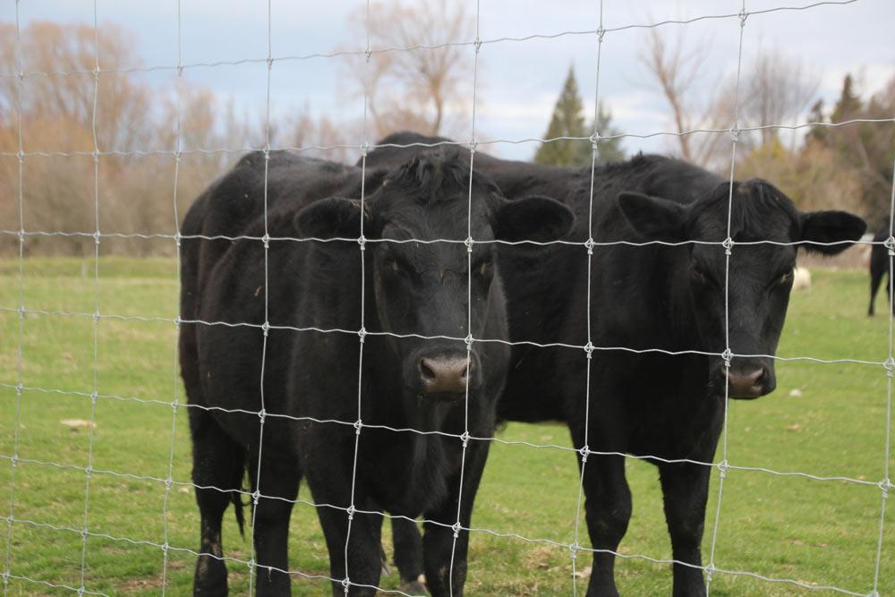 一見怖い牛たちだけど、超なつっこいよ