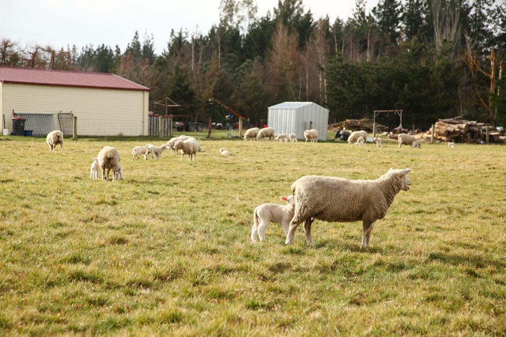 ニュージーランドと言えば羊!
