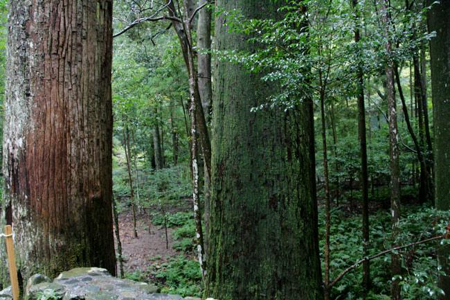 すごい大木!
