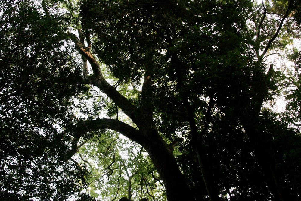 この大きな樹木
