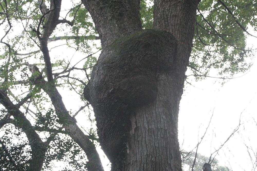 珍樹発見! クマが木を登ってる!
