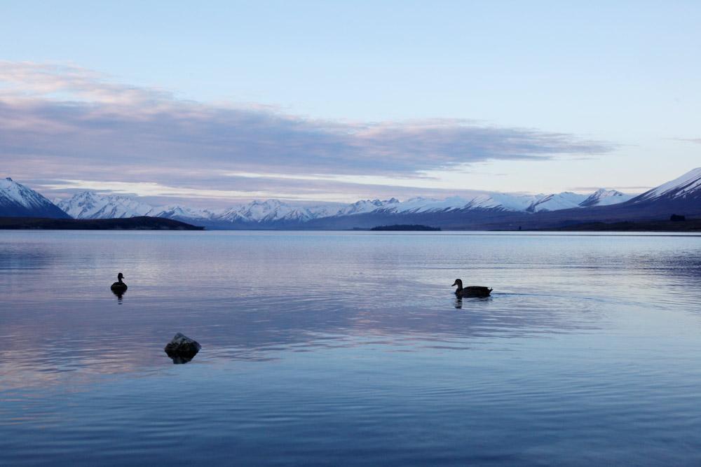テカポ湖の夕方(カモがいます)