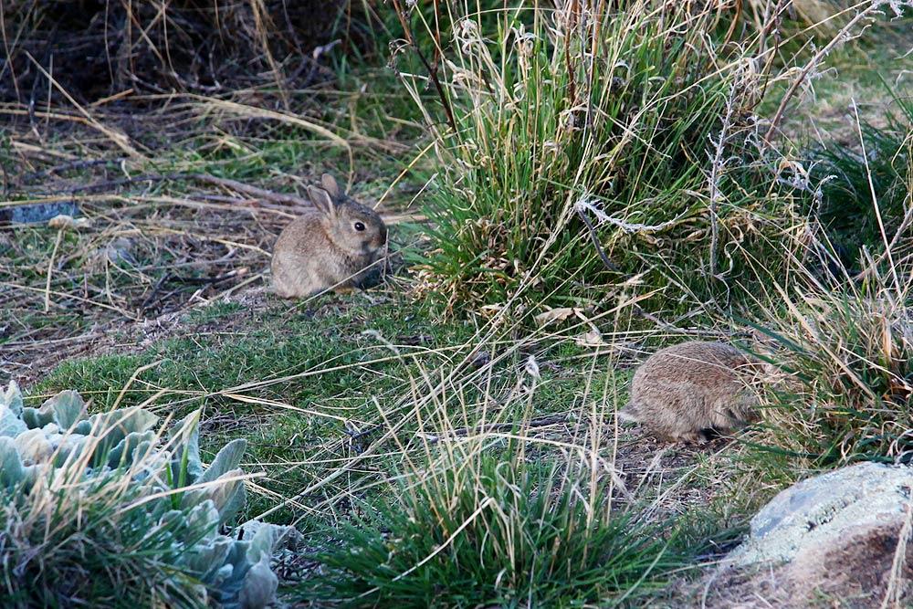 教会の近くの野ウサギ