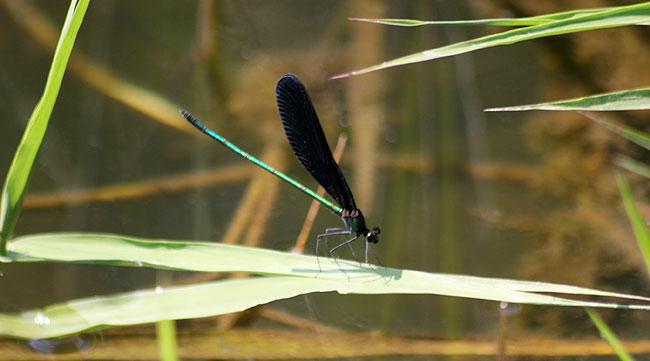 羽根が真っ黒なハグロトンボ