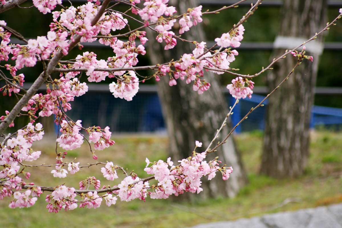桜の花もあります