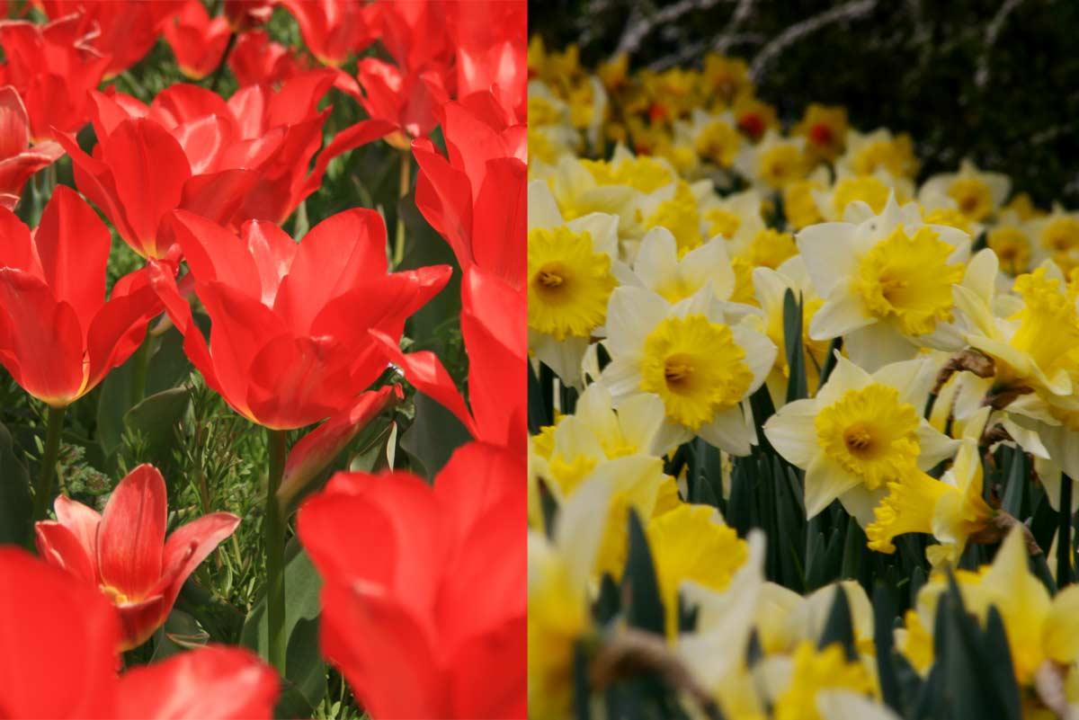 春はチューリップやスイセンがすごい