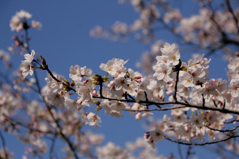 4月といえばやっぱり桜