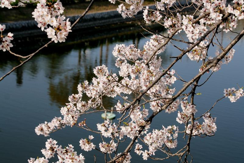 堀の桜はいいよ、ほんとに