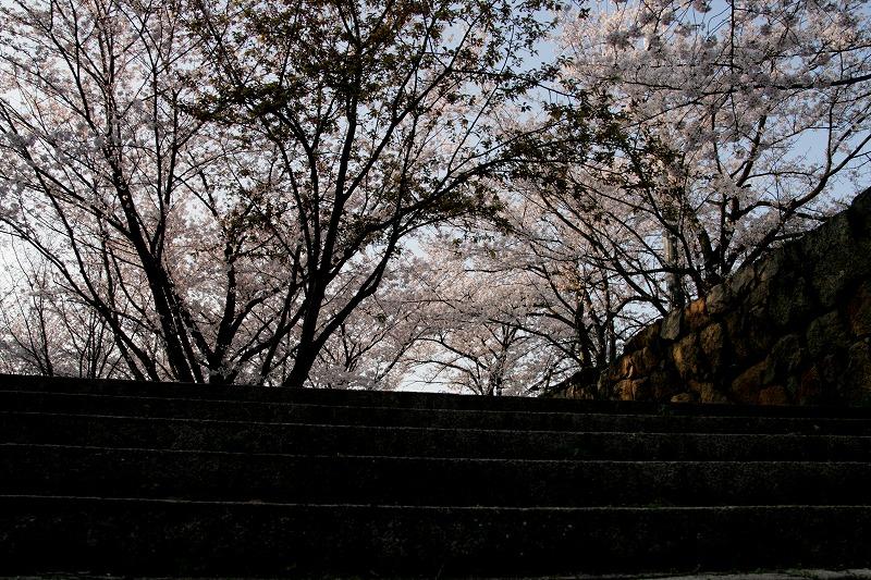 階段とソメイヨシノ