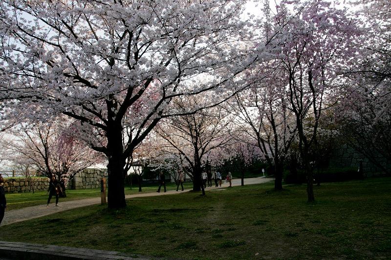 広場の桜はすごいです