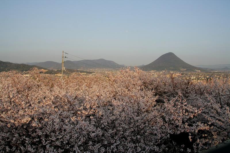 桜 with 讃岐富士