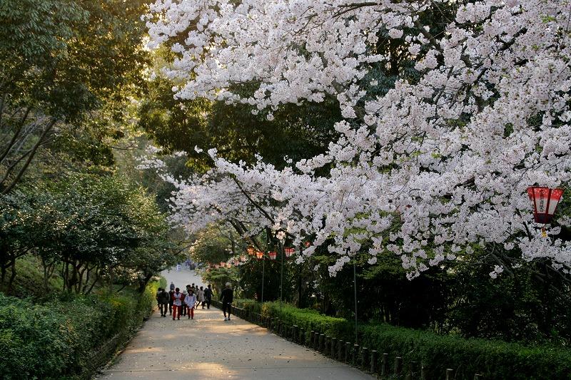 「見返り坂」にも桜がちらほら咲いています