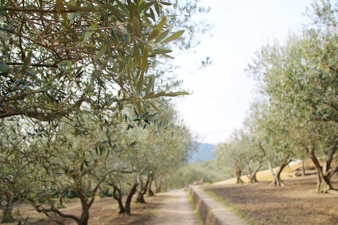 小豆島のオリーブ園