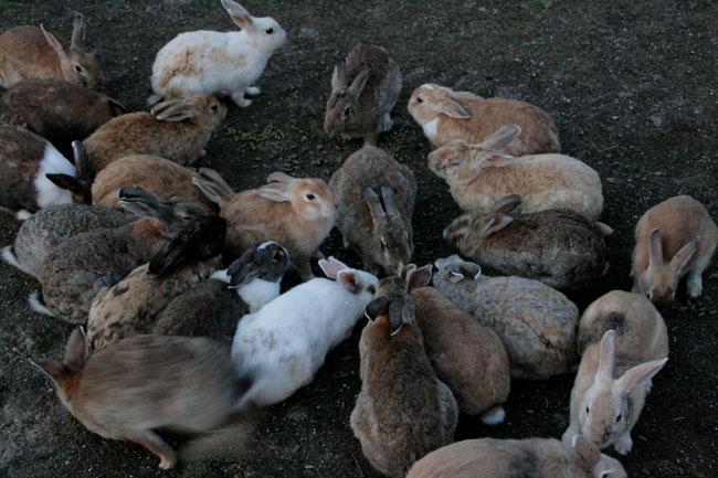 700羽ものウサギがいます