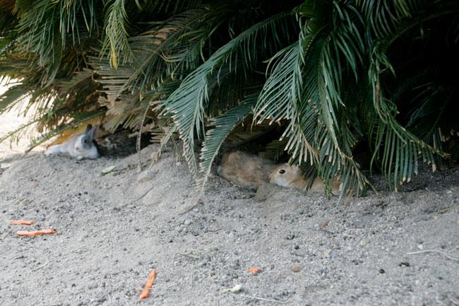 暑さに弱いウサギ。夏場は木陰などに隠れている