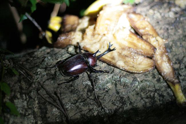 カブトムシのオスを発見!